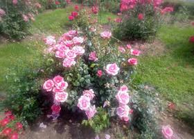 Время цветения роз в парке Рундале