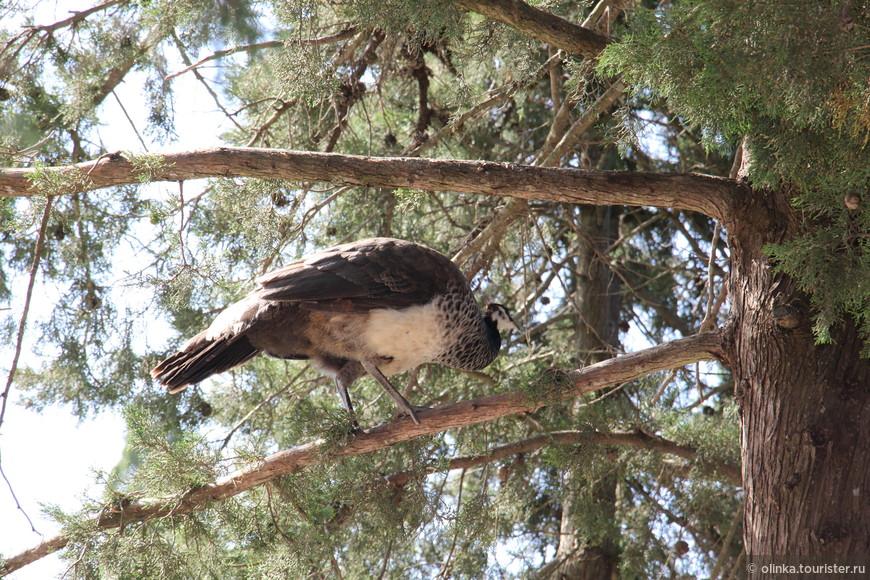 Павлиниха на холме Филеримос. Ещё на дереве видела козу. Удивительно!