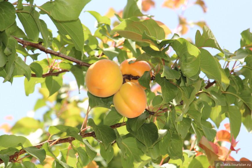 И растущие абрикосы!