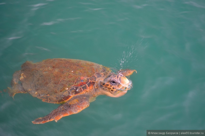 Метровая черепаха Caretta  сразу после всплытия.