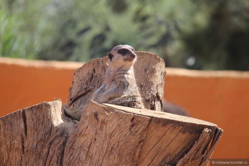 Сурикаты – это стайные животные, они живут группами по 20 особей или больше. Они обитают в южной Африке и не переносят холод. Поэтому их редко можно увидеть в других зоопарках. В зоопарке Фригия их целая колония, не пропустите уникальную возможность увидеть их.