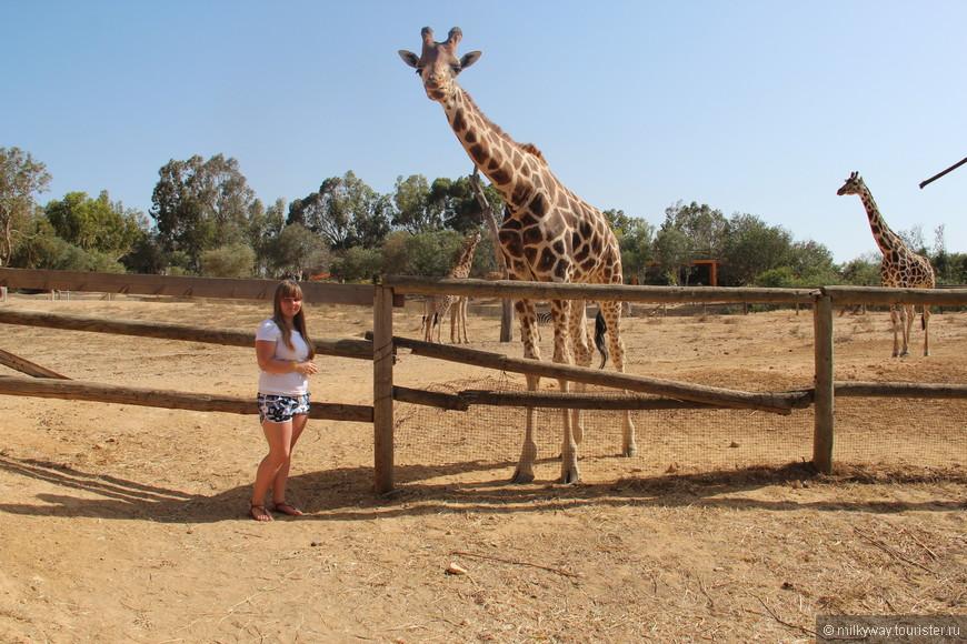 Жирафы - африканские великаны...