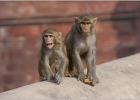 Анимализм вокруг Красного форта (Индия)
