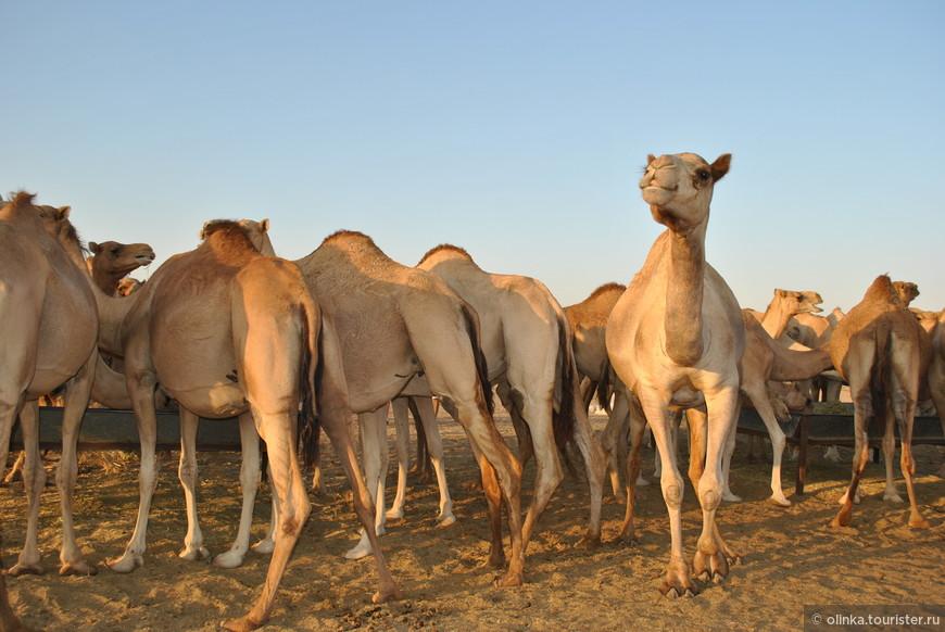 Стоянка верблюдов.