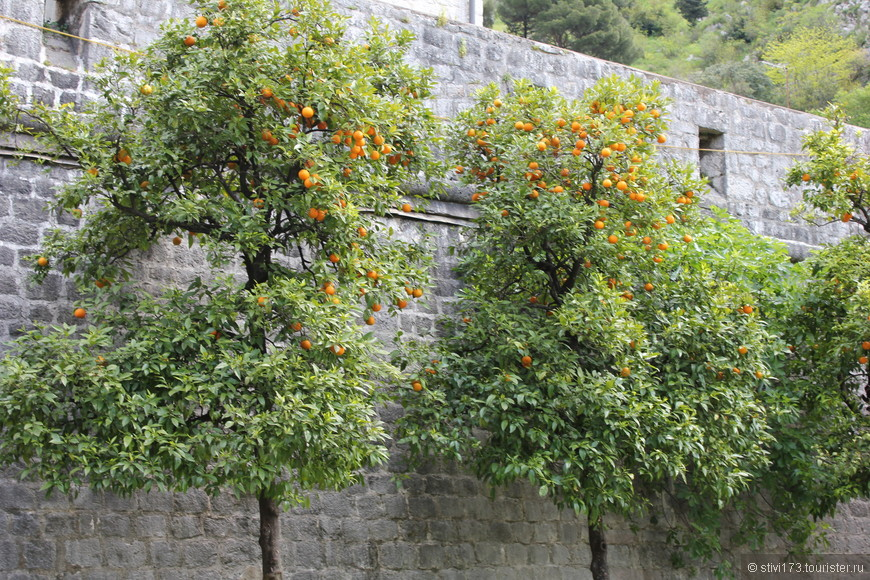 Липисинки у стен старого города Котора.