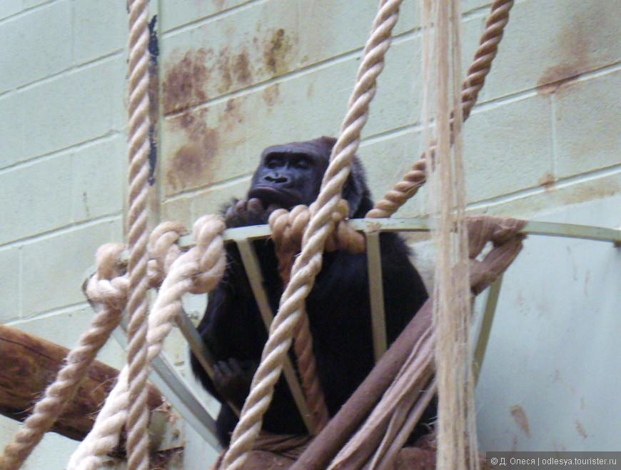 горилла-самочка