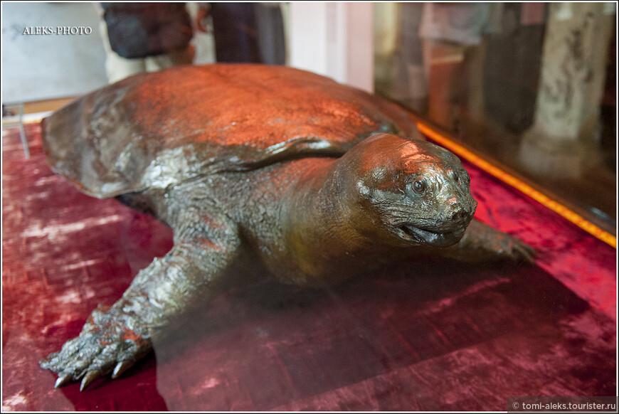 А это, конечно, не та самая черепаха, которая описана в легенде. Но - одна из обитавших в этом озере. Здесь их жило целых четыре штуки. И, говорят еще одна продолжает плавать в озере. Но экология современного Ханоя не располагает к большой чистоте воды в водоемах... В общем, у вьетов к черепахам особое трепетное отношение...