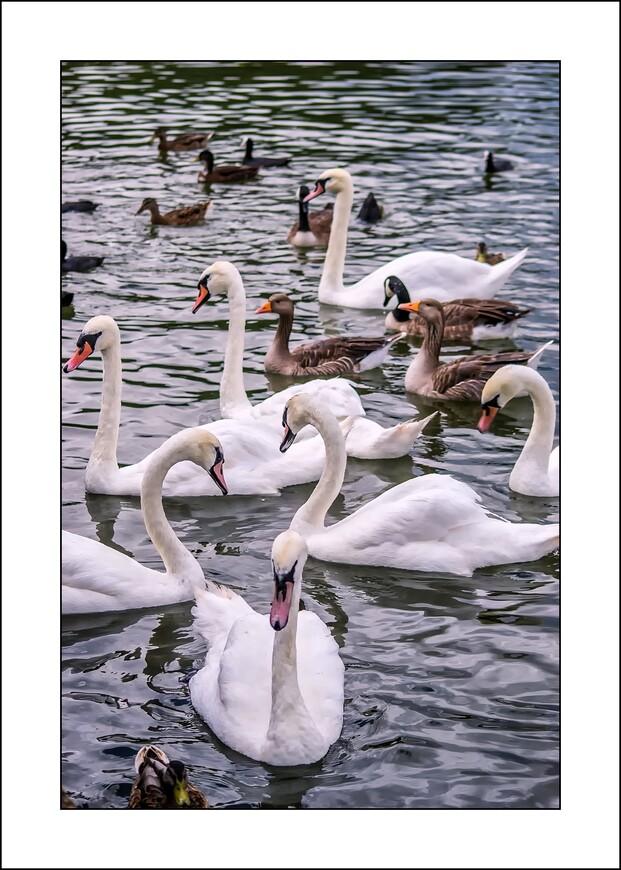 Берега Темзы в районе Рединга очень живописны. По берегам разбит огромный парк. В выходные дни англичане любят выйти в него на пикник – то есть расстелить клетчатые пледы, поставить корзину с бутербродами и чаем и наблюдать, как величаво расхаживают по берегу лебеди – их на Темзе великое множество – или как проплывают мимо белые яхты.