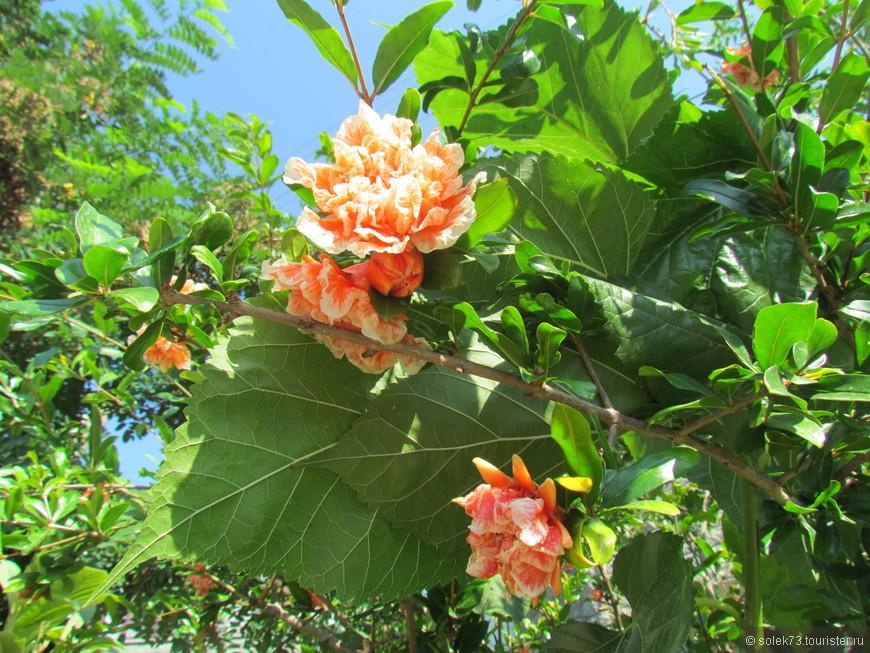 Красивое цветущее дерево. Название так и не узнала((