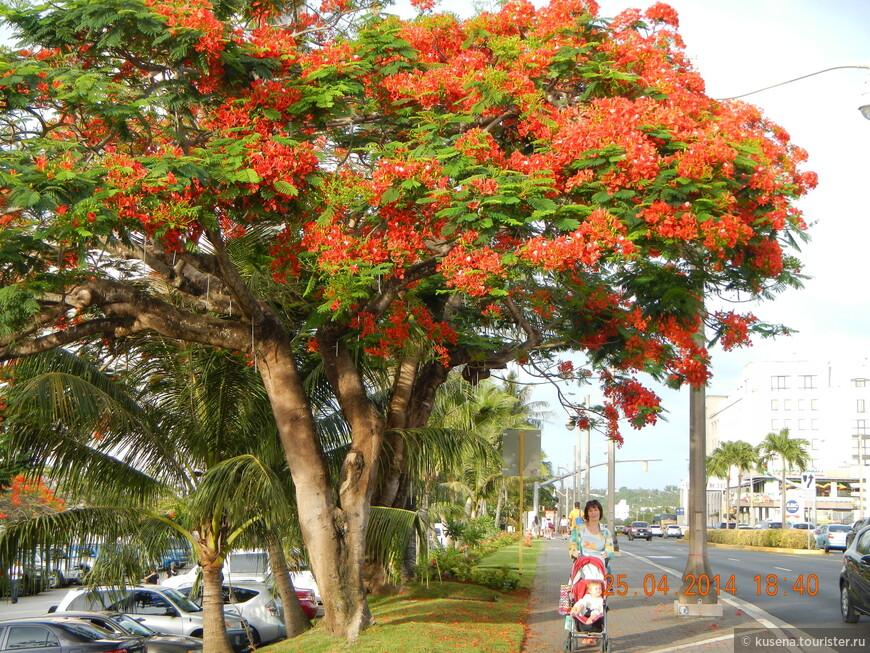 Пламенеющее или огненное дерево - визитная карточка Марианских островов