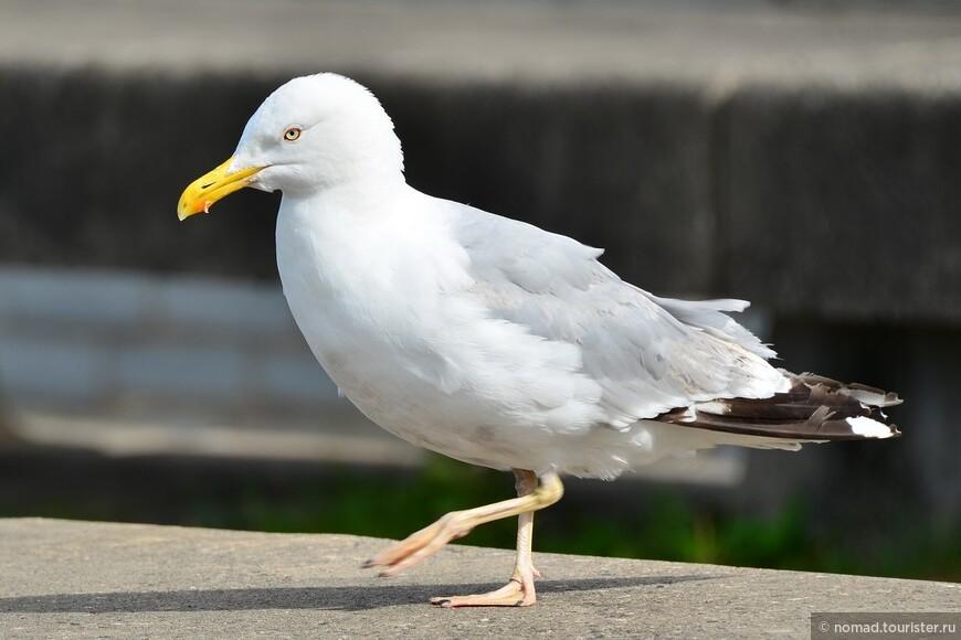 Серебристая чайка