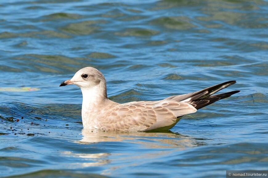 Молодая серебристая чайка