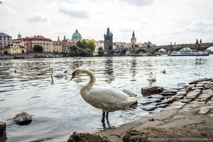 Лебеди в Праге - целая история. Их кормят с рук, с ними играют дети, без них трудно представить Влтаву и набережные. Никого не боятся и очень любят позировать.