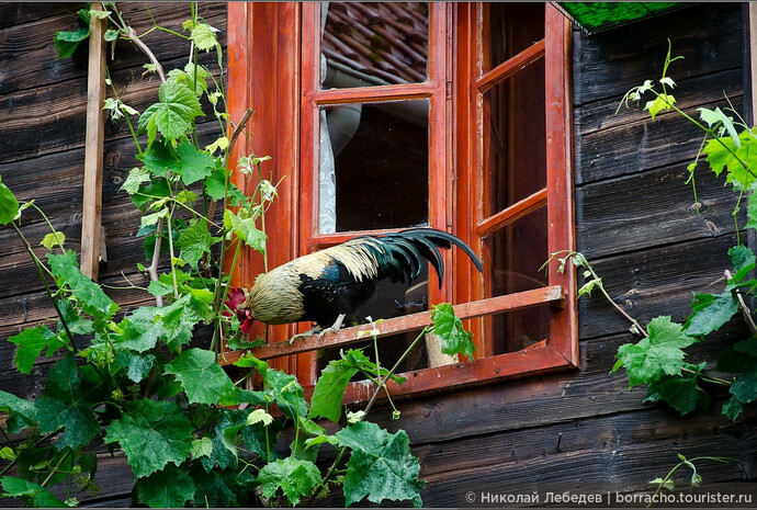 Попугаи - для слабаков, настоящие болгары заводят дома петухов.