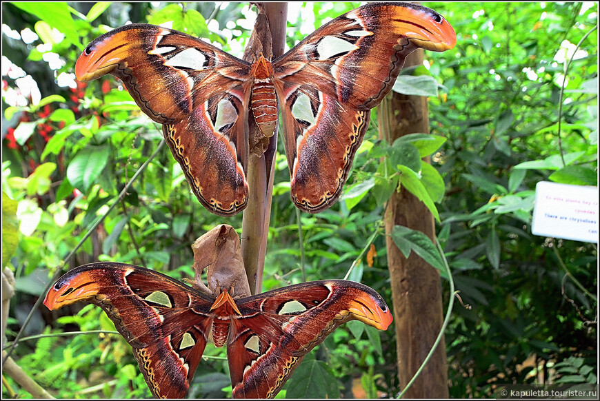 Гигантская бабочка, размах крыльев превышает 250 мм, по площади крыльев она признана крупнейшей бабочкой в мире. Окрас крыльев сочетает различные оттенки бархатисто-коричневого, красного, розового, жёлтого и кремового цветов. На удлинённой жёлто-оранжевой вершине переднего крыла есть яркая бордово-красная полоска, похожая на мазок. Крупные прозрачные глазки-оконца имеют форму, близкую к треугольной. Причудливо изогнутый край переднего крыла по форме и окраске похож на змеиную голову. Это отпугивает многих насекомоядных животных.