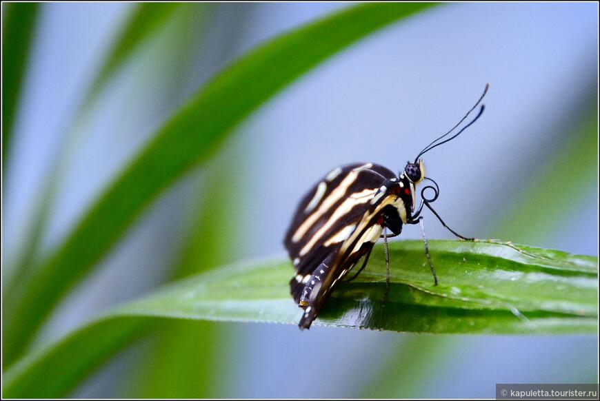 У  бабочек удивительный аппетит, некоторые из них могут выпить раствор сахара в количестве, превышающем их собственный вес в два раза.