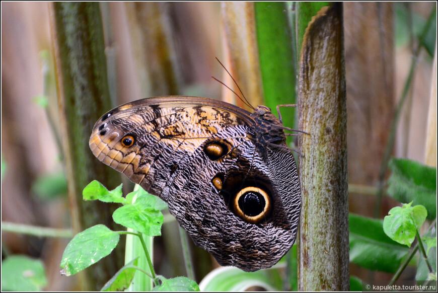 Каллиго мемнон  в природе являются активными вредителями банановых плантаций.Гусеницы при опасности выделяют очень дурно пахнущую жидкость , что отпугивает хищников, например, муравьев - кочевников.