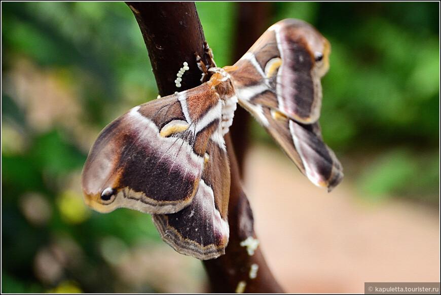 """Этот """"сорт""""  бабочек  более всего заинтересовал меня, поскольку именно на нем можно было проследить весь цикл  развития от яиц  до гусениц  - куколок - имаго..."""