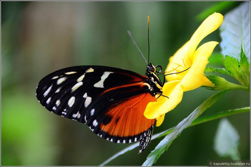 Почему бабочки такие красивые? - зрение, и восприятие цвета у бабочек довольно слабые. Поэтому, чтобы быть узнанными своими сородичами, они должны обладать как можно более яркой окраской. - ярких насекомых побаиваются хищники: броско окрашенные бабочки могут оказаться ядовитыми или просто отвратительными на вкус. Поэтому такая окраска безопаснее. - у взрослой бабочки в жизни одна цель - оставить после себя потомство, поэтому им просто необходимо красиво приодеться.