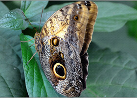 В Азии бабочки символизируют душу и духовность и там, особенно в Китае, бабочек начали разводить более 4 000 лет назад, сначала в Китае, а позже в Таиланде, Малайзии и Индонезии.