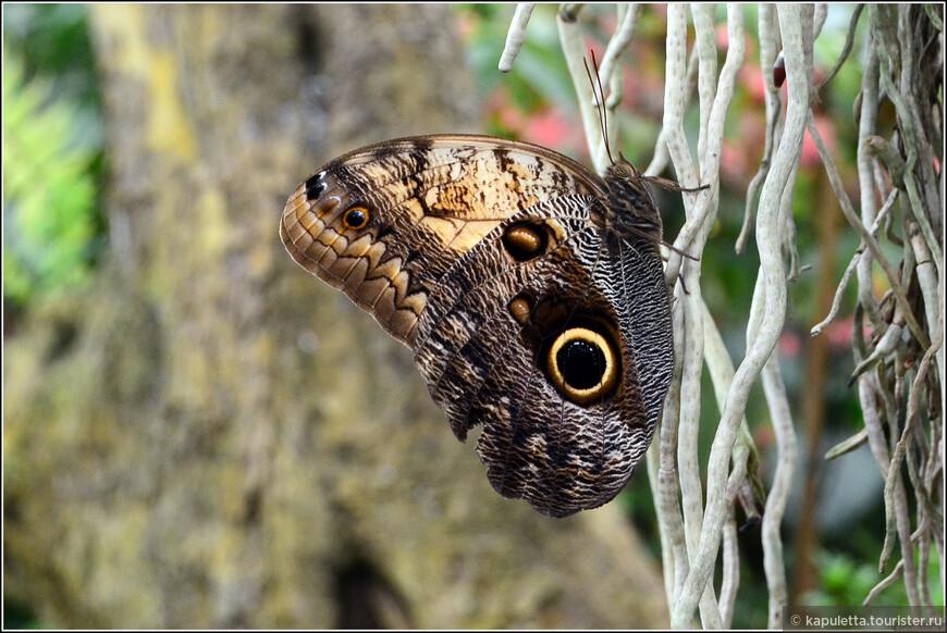 Это  - Caligo memnon. Рада была познакомиться. Ареал обитания - Мексика, Коста Рика, Перу. Обратная сторона крыльев имеет 2 крупных пятна, похожих на совиные глаза, поэтому семейство называют - совки. Это отпугивает от бабочек их врагов.