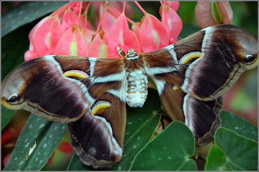 В Сербии бабочек называют «мара», «вампир». По народным поверьям, душа-бабочка вылетает из вампира, когда его протыкают осиновым колом, и, чтобы обезвредить кровопийцу, нужно убить эту бабочку. Считалось также, что в виде бабочки ведьма ночью летает к чужой корове, чтобы отобрать молоко. Поэтому в глухих местах Сербии и в наши дни специально калечат (но не убивают!) бабочку, прилетевшую ночью на огонь: ей слегка подпаливают крылья, чтобы наутро по ожогам на руках опознать женщину-ведьму.