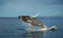 В столице Исландии открывается музей китов