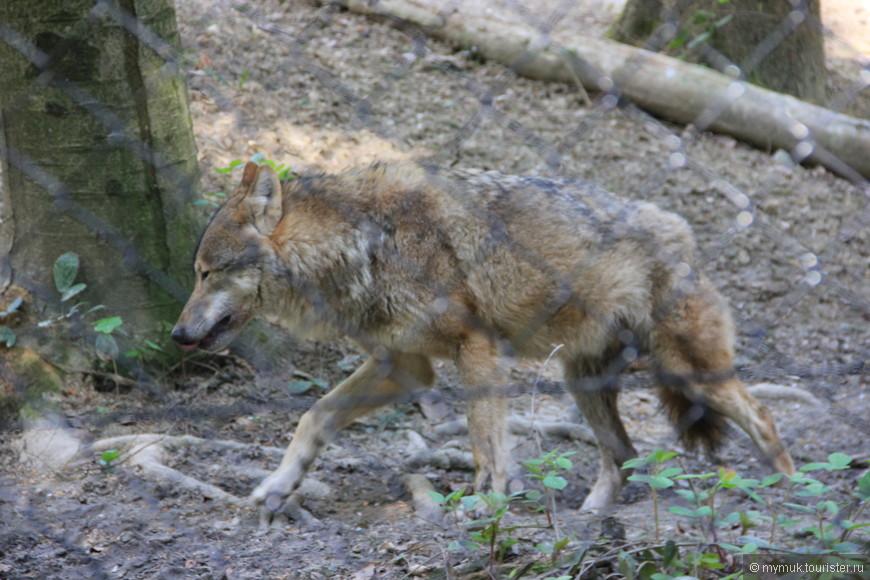 и серого волка, а если повезет, и волков