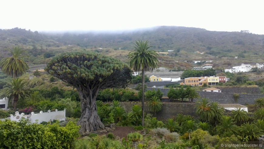 El Drago (огромное драконово дерево)