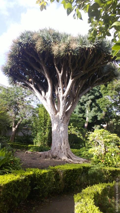 Драконово дерево  (La Orotava)