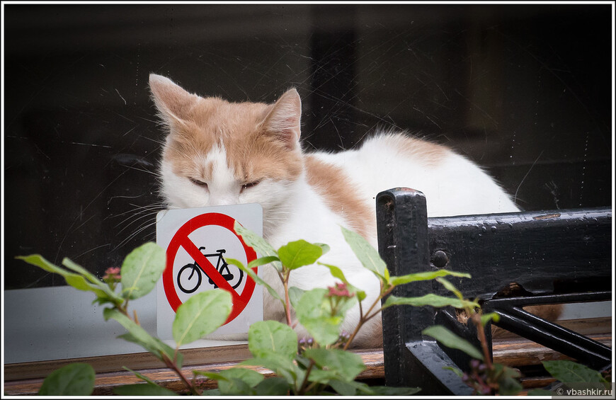 Амстердамские кошки не очень любят велосипеды))