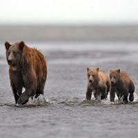 Туристам на Камчатке угрожают медведи