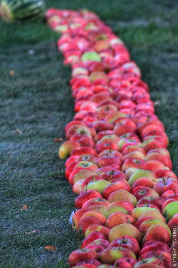 Наши яблоки самые вкусные! В этом году их много.