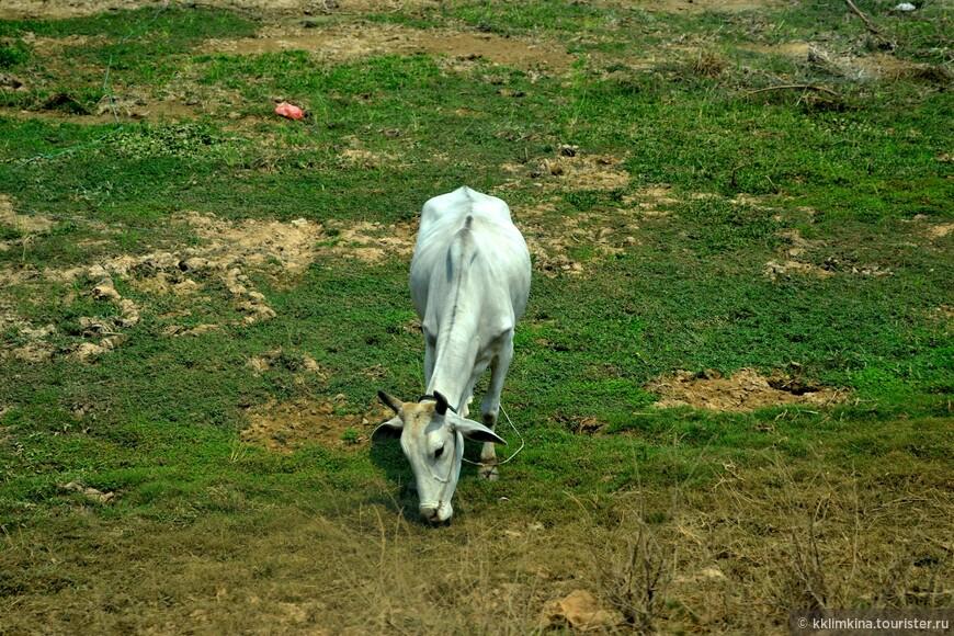 Тощие коровы. Которые и не коровы вовсе.