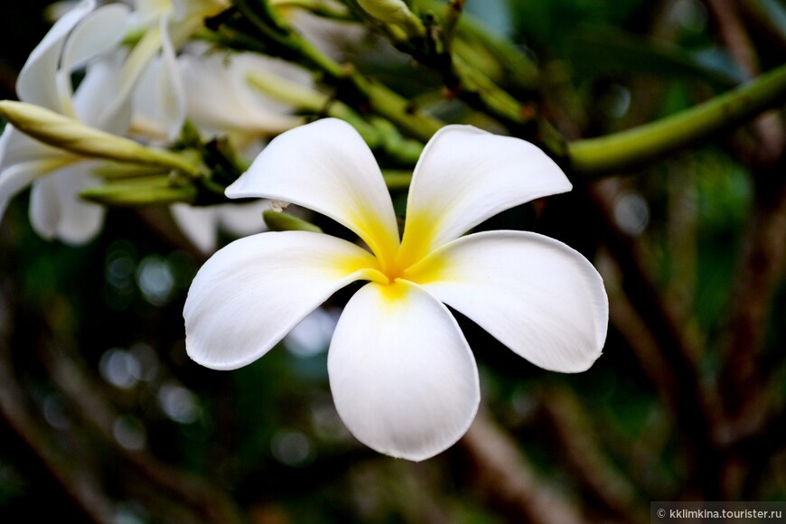 Популярный местный цветок. Никак не запомню название)