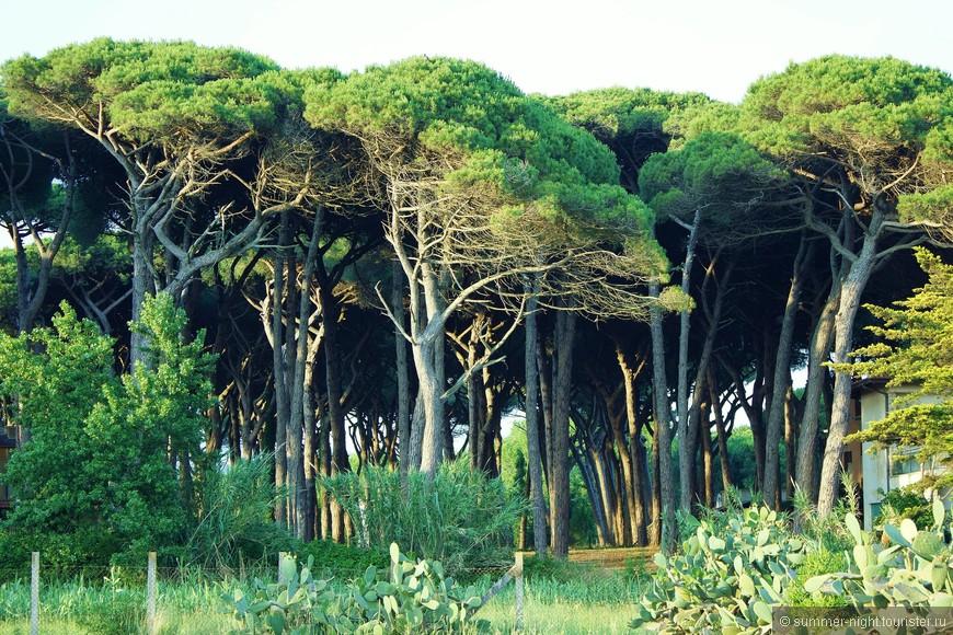 Таинственный сосновый лес..