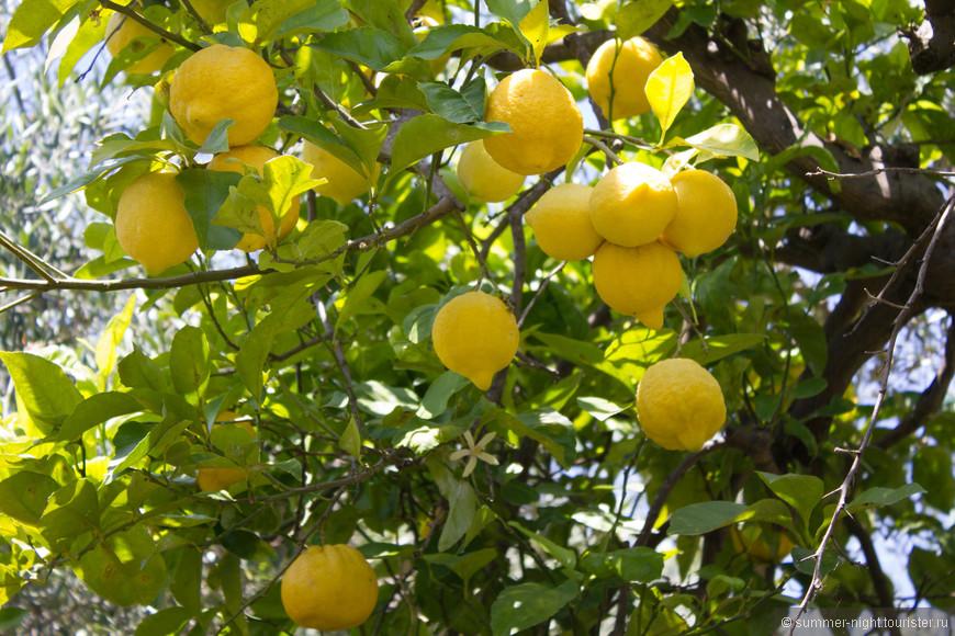 И лимонные деревья почти в каждом саду..