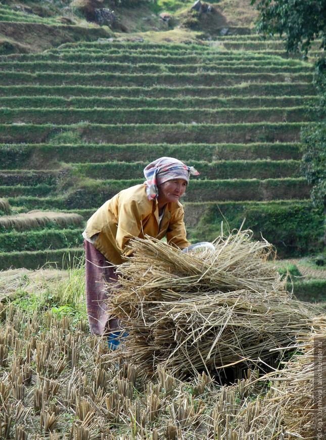 Cбор урожая в Сиккиме...