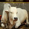 Священный храмовый бык в Гокарне