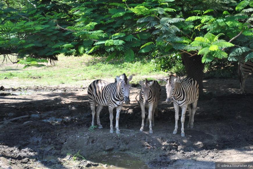 """""""А у зебры есть полоски, есть полосочки везде! На лбу, ушах, на шее, на локтях,  На носах, на животах, на коленях и носках. """""""