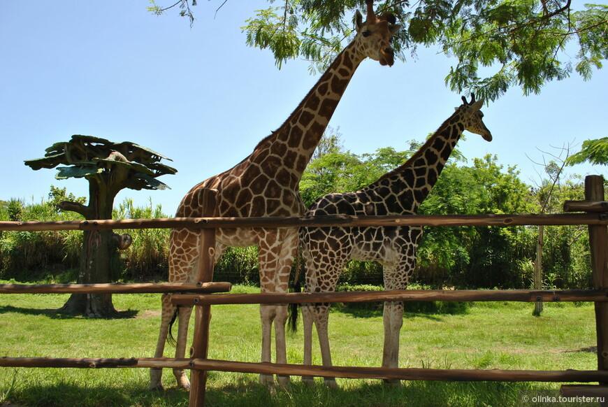 """У жирафов пятна, пятна, пятна, пятнышки везде. На лбу, ушах, на шее, на локтях, На носах, на животах, на коленях и носках."""