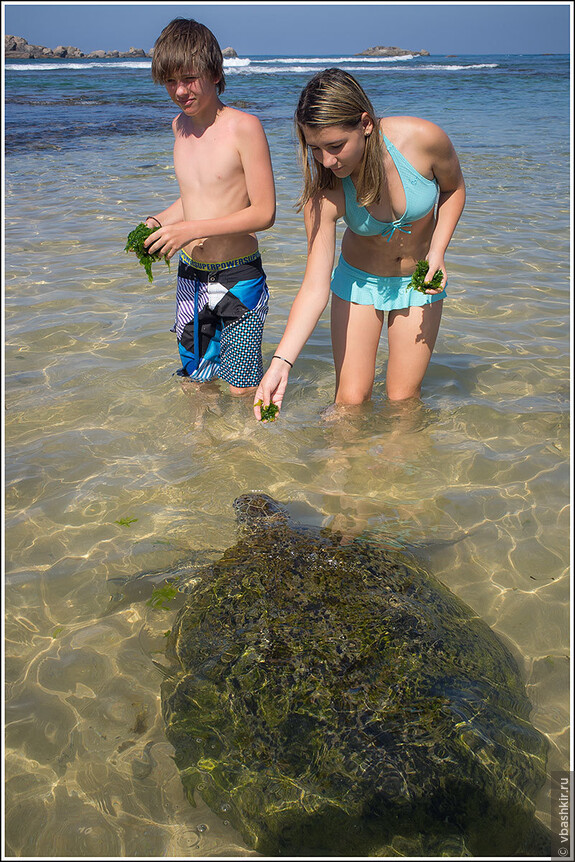 В Хиккадуве утром к берегу приплывают две черепахи, прикормленные туристами.