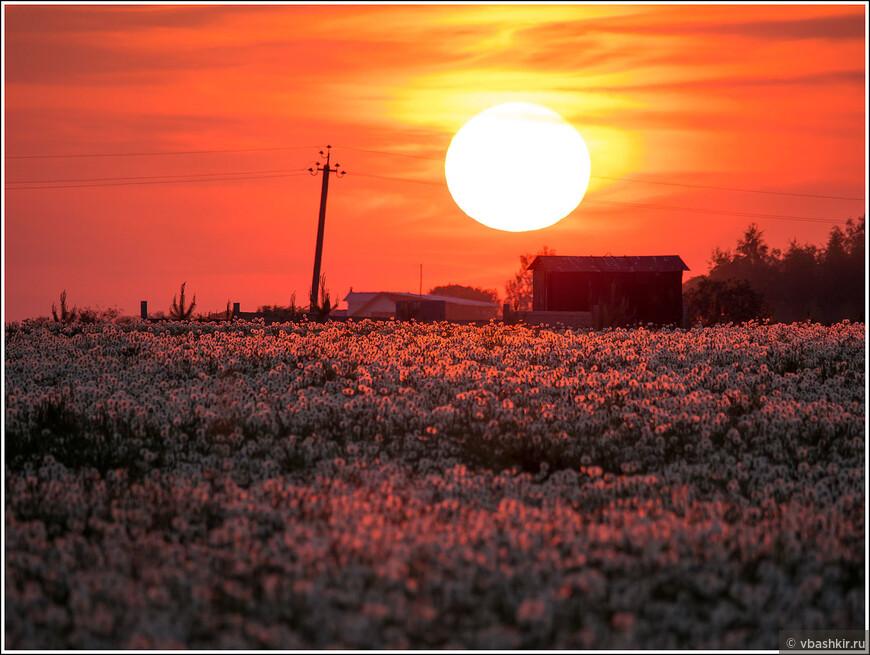 Закат над полем одуванчиков в конце мая.