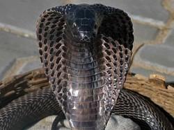 Хозяин укусившей туристку в Туапсе кобры получил год колонии