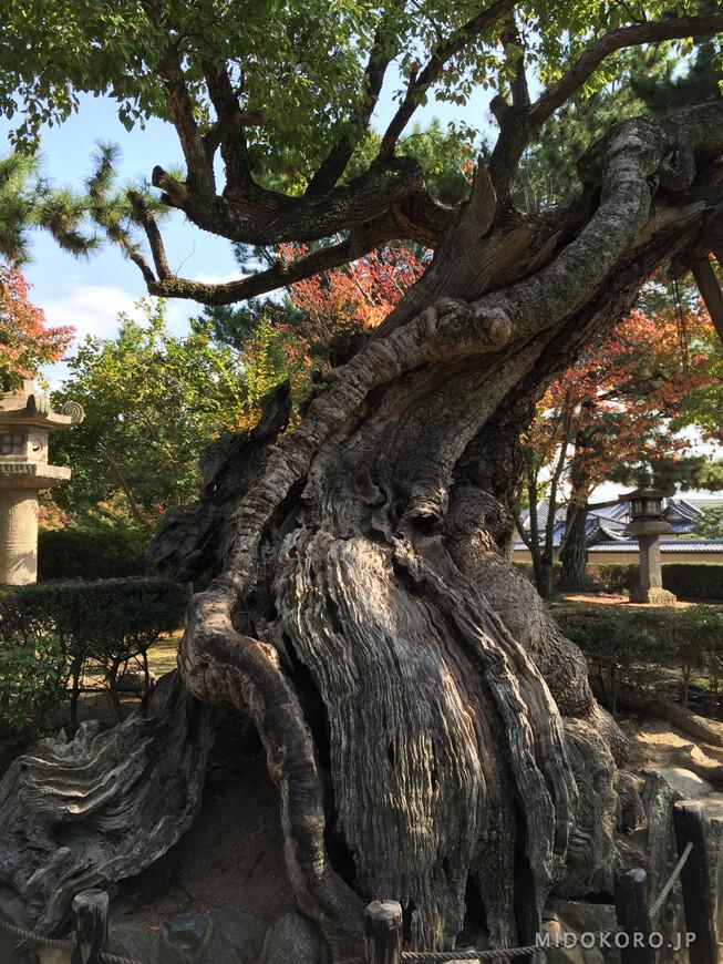 Старое камфорное дерево неопределенного возраста.