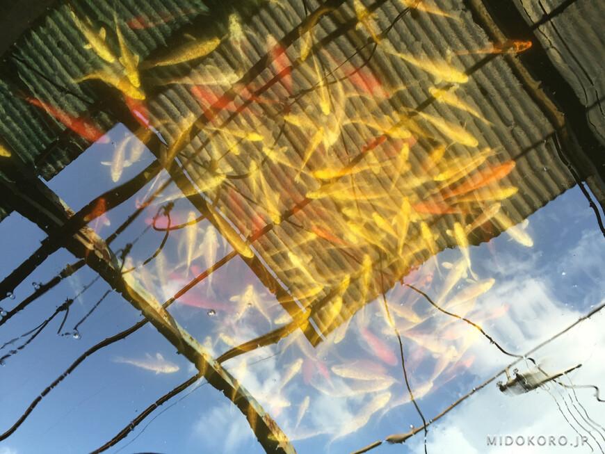 Рыбы любого размера и окраса плавают в открытых и закрытых прудах.