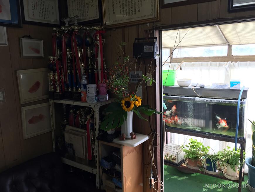 В кабинете управляющего призы и кубки с всеяпонских конкурсов на лучших декоративных карпов, золотых рыбок и др.