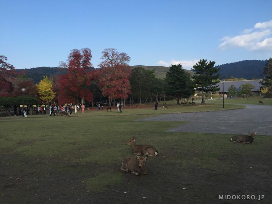 Олени в парке Нара уже сменили свой пестрый летний окрас на осенне-зимний.