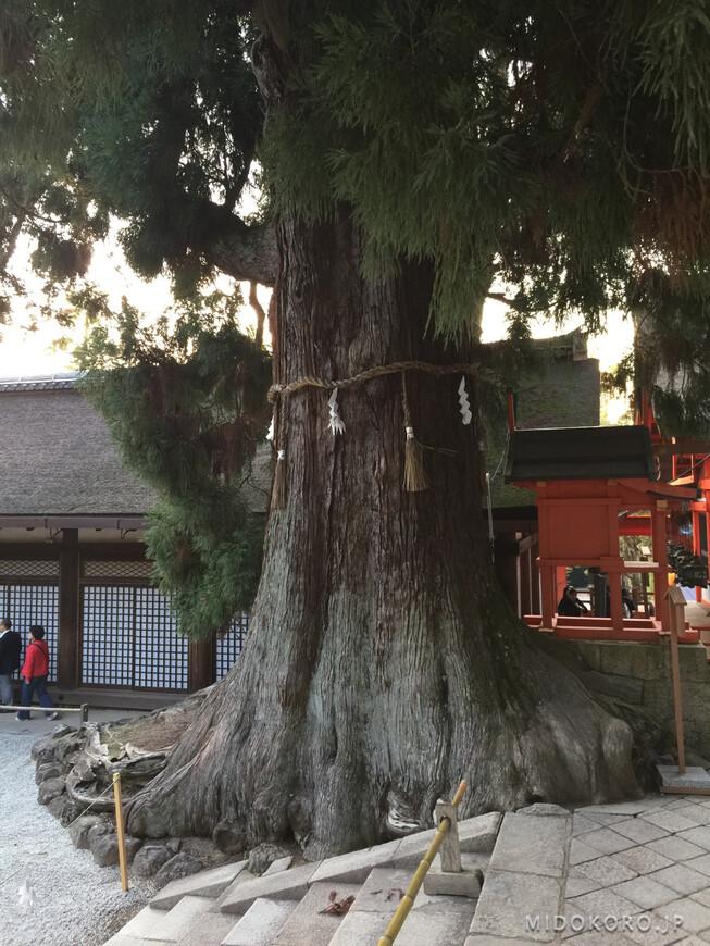 Древняя криптомерия в святилище Касуга изображалась еще на свитках 1309 года: дереву более тысячи лет.