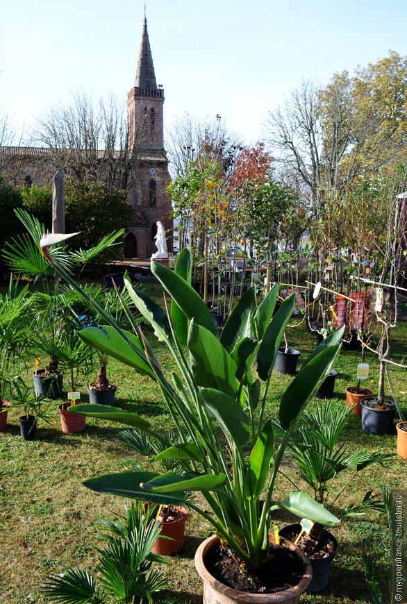 Стрелиция, пальмы, саженцы плодовых ...